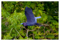 "One of the many amazing winged friends I was bedazzled by on a nature ride today…..the ""Little Blue Heron""….©2005-2013 Jerry Moran Native Orleanian LLC All Rights Reserved"