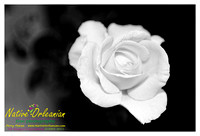 white_rose_jm_122312_001