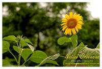 nofp_sunflowers_jm_071613_002